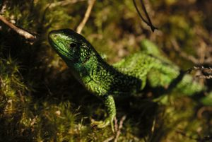 Le Lézard vert occidental (Lacerta bilineata)<br> Forêt domaniale des 3 Pignons