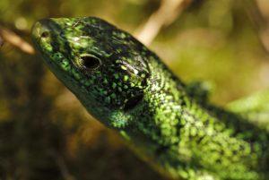 Le Lézard vert occidental (Lacerta bilineata)<br> Les 3 Pignons<br> Forêt de Fontainebleau