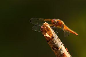 La Libellule fauve femelle (Libellula fulva)<br> Les 3 Pignons - Forêt de Fontainebleau