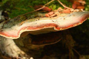 Le champignon Langue de bœuf (Fistulina hepatica)<br> Le Coquibus<br> Forêt de Fontainebleau