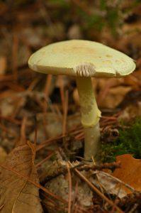 L'Amanite citrine (Amanita citrina)<br> Le Coquibus - Forêt de Fontainebleau