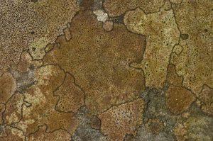 Lichen géographique (Rhizocarpon geographicum)<br> Le plateau du Coquibus<br> Forêt domaniale de Fontainebleau
