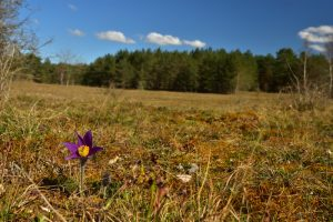 Anémone pulsatille (Anemone pulsatilla) <br> La Plaine de Chanfroy<br> Forêt de Fontainebleau