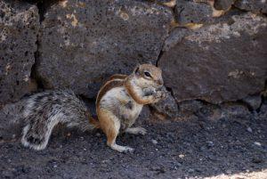 L'écureuil de Barbarie (Atlantoxerus getulus). Île de Fuerteventura (Islas Canarias).