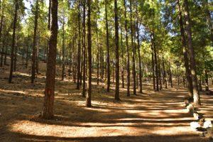 Forêt de Pins des Canaries (Pinus canariensis) sur le chemin du Pico de Las Nieves<br> Paysaje Protegido de Las Cumbres<br> Île de Grande Canarie