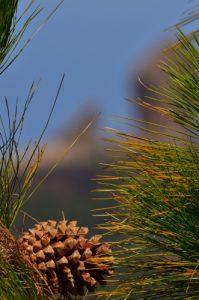 Pomme de pin du Pin des Canaries (Pinus canariensis)<br> Paysaje Protegido de Las Cumbres<br> Île de Grande Canarie