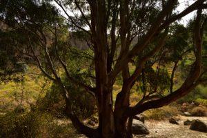L'Eucalyptus commun ou Gommier bleu (Eucalyptus globulus)<br> Caldera de Bandama<br> Île de Grande Canarie