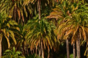 Le dattier des Canaries ou palmier des Canaries (Phoenix canariensis)<br> Le Barrage Presa de La Sorrueda<br> Île de Grande Canarie