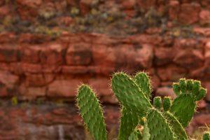 Figuier de Barbarie (Opuntia Dillenii)<br> Le site archéologique Guanche Las Fortalezas<br> Île de Grande Canarie