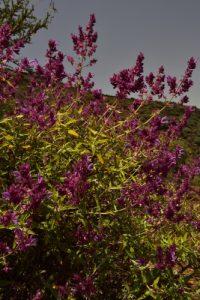 La Sauge des Canaries (Salvia canariensis)<br> Paysaje Protegido de Las Cumbres<br> Île de Grande Canarie