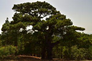 Los Pinos de Galdar, Pins des Canaries (Pinus canariensis)<br> Paysaje Protegido de Las Cumbres<br> Île de Grande Canarie