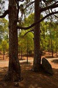 Forêt de Pins des Canaries (Pinus canariensis) de Tamadaba<br> Parque National de Tamadaba<br> Île de Grande Canarie