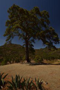 Pin des Canaries remarquable (Pinus canariensis) au lac de barrage Presa de la Niña<br> Parquel Rural del Nublo<br> Île de Grande Canarie