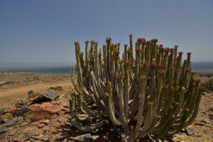 Euphorbe des Canaries (Euphorbia canariensis)<br> Barranco de Hondo<br> Île de Grande Canarie