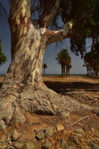 L'Eucalyptus commun (Eucalyptus globulus)<br> La Saline Juncalillo del Sur<br> Parquel Rural del Nublo<br> Île de Grande Canarie