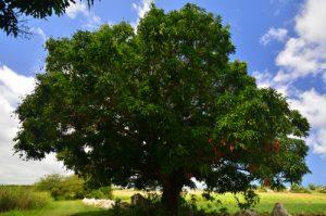 Le Manguier (Mangifera indica) -  La Trace de Beautiran -  Grande-Terre / Guadeloupe