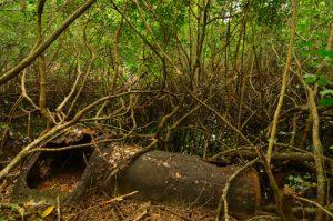 Reste d'une locomotive pour le transport de la canne à sucre -  Mangrove de la Trace de Beautiran -  Grande-Terre / Guadeloupe