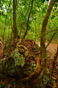 Mangrove de la Trace de Beautiran -  Grande-Terre / Guadeloupe