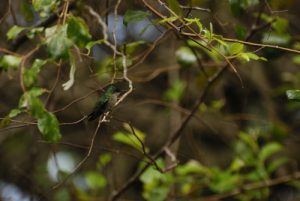 Colibri huppé (Orthorhyncus cristatus) -  Trace de Beautiran -  Grande-Terre / Guadeloupe