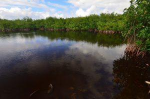 Mangrove de Port-Louis -  Basse-Terre / Guadeloupe