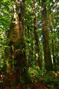 Forêt tropicale au Grand Etang -  Parc national de la Guadeloupe - Basse-Terre / Guadeloupe