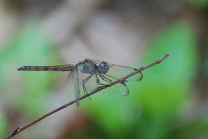 Libellule Erythrodiplax à 4 bandes femelle (Erytrodiplax umabrata) -  La Pointe des Îles / Pointe Allègre -  Basse-Terre / Guadeloupe
