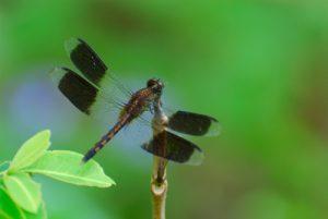 Libellule mâle du genre Erythrodiplax (Erytrodiplax umabrata) -  La Pointe des Îles / Pointe Allègre -  Basse-Terre / Guadeloupe