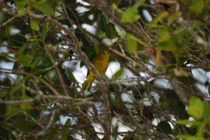 Oiseau -  La Pointe Allègre -  Basse-Terre / Guadeloupe
