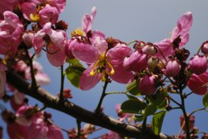 Le casse de Java (Cassia javanica) -  La Pointe Allègre -  Basse-Terre / Guadeloupe