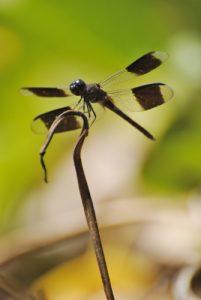 Libellule mâle du genre Erythrodiplax (Erytrodiplax umabrata) -  La Pointe Allègre - Guadeloupe
