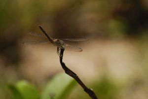 Libellule femelle du genre Erythrodiplax (Erytrodiplax umabrata) -  La Pointe Allègre - Guadeloupe
