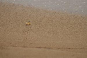 Crabe sur la plage -  La Pointe Allègre -  Basse-Terre / Guadeloupe