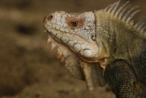 Iguane commun (Iguana iguana) reconnaissable à sa grosse écaille sous l'oeil -  La Pointe Allègre -  Basse-Terre / Guadeloupe