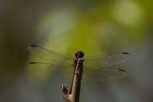 Libellule mâle du genre Orthémis (Orthemis macrostigma) -  La Pointe Allègre -  Basse-Terre / Guadeloupe