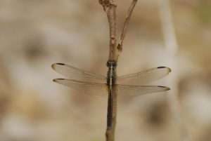 Libellule femelle Erythrodiplax à 4 bandes (Erytrodiplax umabrata) -  La Pointe Allègre -  Basse-Terre / Guadeloupe
