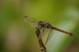 Libellule femelle Orthémis antillais (Orthemis macrostigma) -  La Pointe Allègre -  Basse-Terre / Guadeloupe