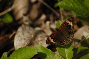 Le papillon Mangrove (Junonia genoveva) -  La Pointe Allègre -  Basse-Terre / Guadeloupe