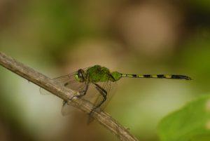 Libellule verte pomme Erythémis vert (Erythemis vesiculosa) -  La Pointe Allègre -  Basse-Terre / Guadeloupe