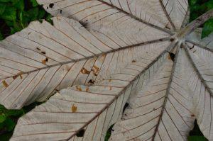 Feuille de Bois Canon (Cecropia schreberiana) - Rivière des Vieux-Habitants -  Basse-Terre / Guadeloupe