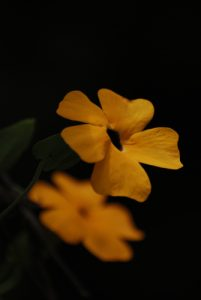 La liane Fleur jaune-savane (Thunbergia alata) -  Rivière des Vieux-Habitants -  Basse-Terre / Guadeloupe