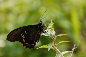 Papillon Trèfle Caraïbe (Battus polydamas neodamas) -  Rivière des Vieux-Habitants -  Basse-Terre / Guadeloupe