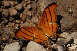 Papillon la Nymphale du Figuier (Marpesia petreus damicorum) -  Rivière des Vieux-Habitants -  Basse-Terre / Guadeloupe