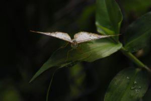 Papillon la Nymphale Cendrée (Anartia jatrophae intermedia) -  Rivière des Vieux-Habitants -  Basse-Terre / Guadeloupe