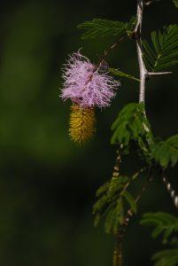 Fleur du très envahissant Acacia de St Domingue (Dichrostachys cinerea) considéré comme envahissant aux Petites Antilles - Cascade Kalinago -  Site des Roches Gravées par les indiens Caraïbes -  Guadeloupe
