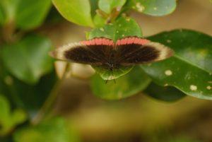 Papillon la Bande rouge (Biblis hyperia) - Cascade Kalinago -  Site des Roches Gravées par les indiens Caraïbes -  Guadeloupe