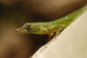 Zandoli ou Anolis (Anolis mormoratus) - Cascade Kalinago -  Site des Roches Gravées par les indiens Caraïbes -  Guadeloupe