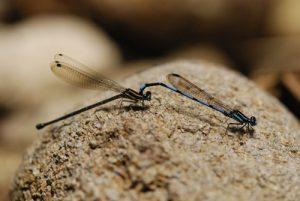 Accouplement de libellules Agrion (Argia concinna) - Cascade Kalinago -  Site des Roches Gravées par les indiens Caraïbes -  Guadeloupe