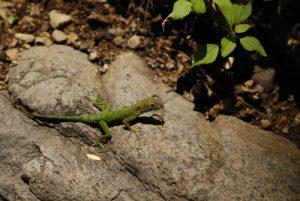 Zandoli ou Anolis (Anolis mormoratus) se délectant d'une libellule - Cascade Kalinago -  Site des Roches Gravées par les indiens Caraïbes -  Guadeloupe