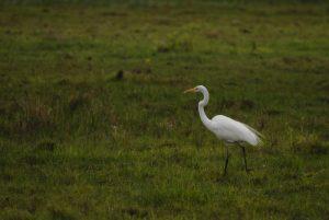Grand Crabier blanc ou Grande Aigrette (Egretta alba) -  Etang Rolan à Vieux-Habitants -  Guadeloupe