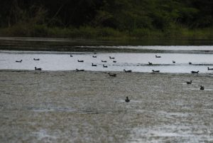 Canard musqué (Cairina moschata) -  Etang Rolan à Vieux-Habitants -  Guadeloupe